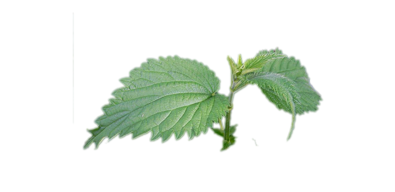 Ortie urtica dioica a vogel for Plante ortie