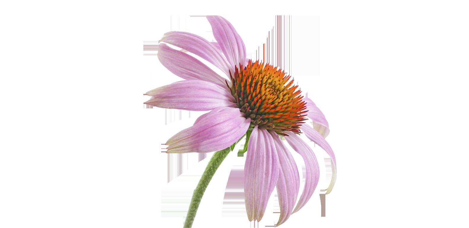 Echinacée Pourpre - Echinacea Purpurea
