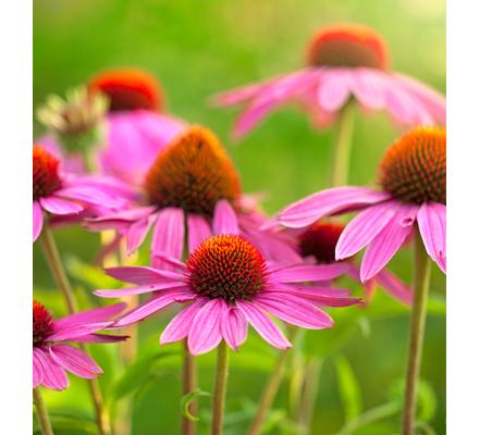 Echinacea : l'essentiel à savoir