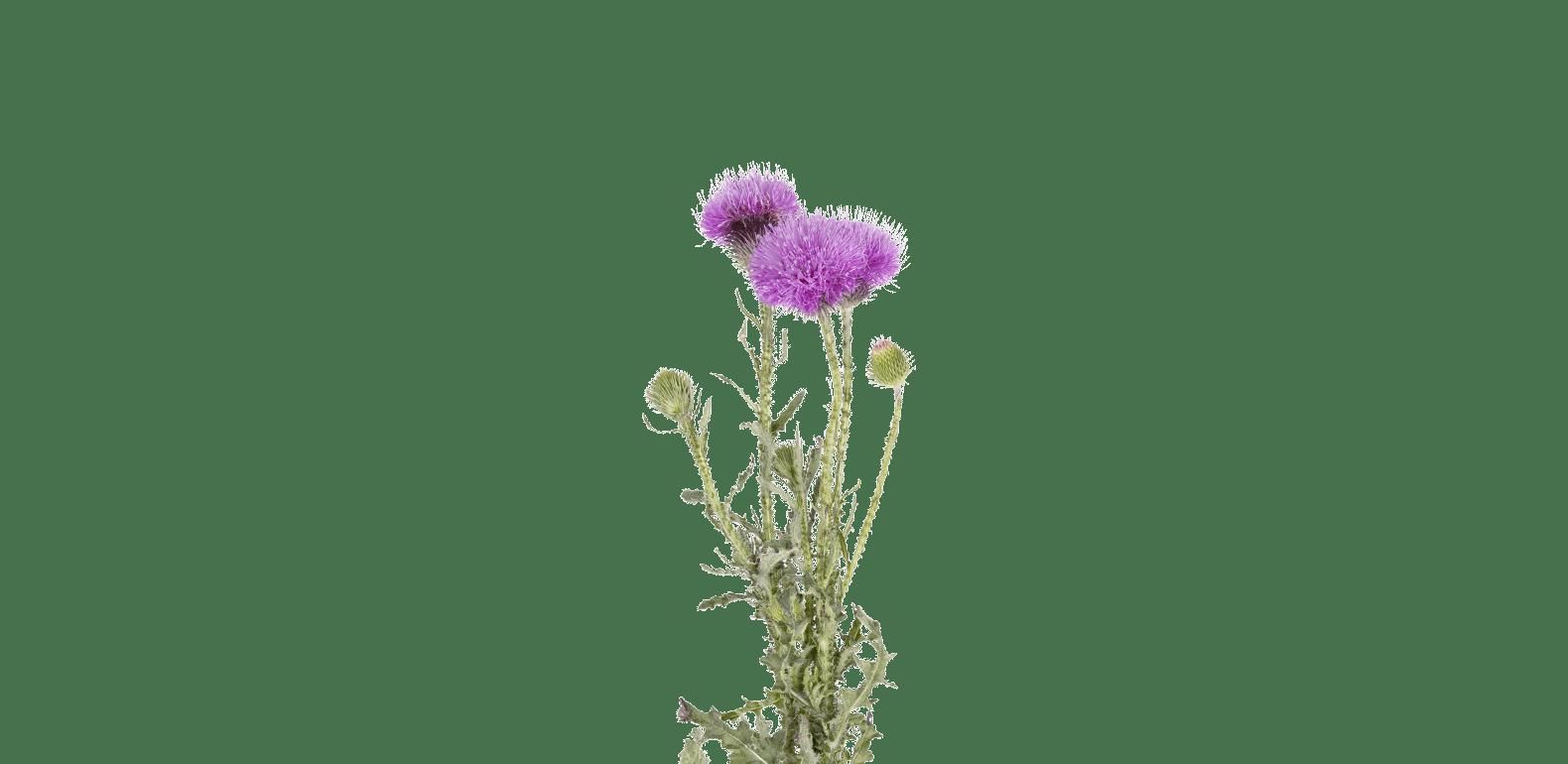 Chardon Marie - Sylibum marianum