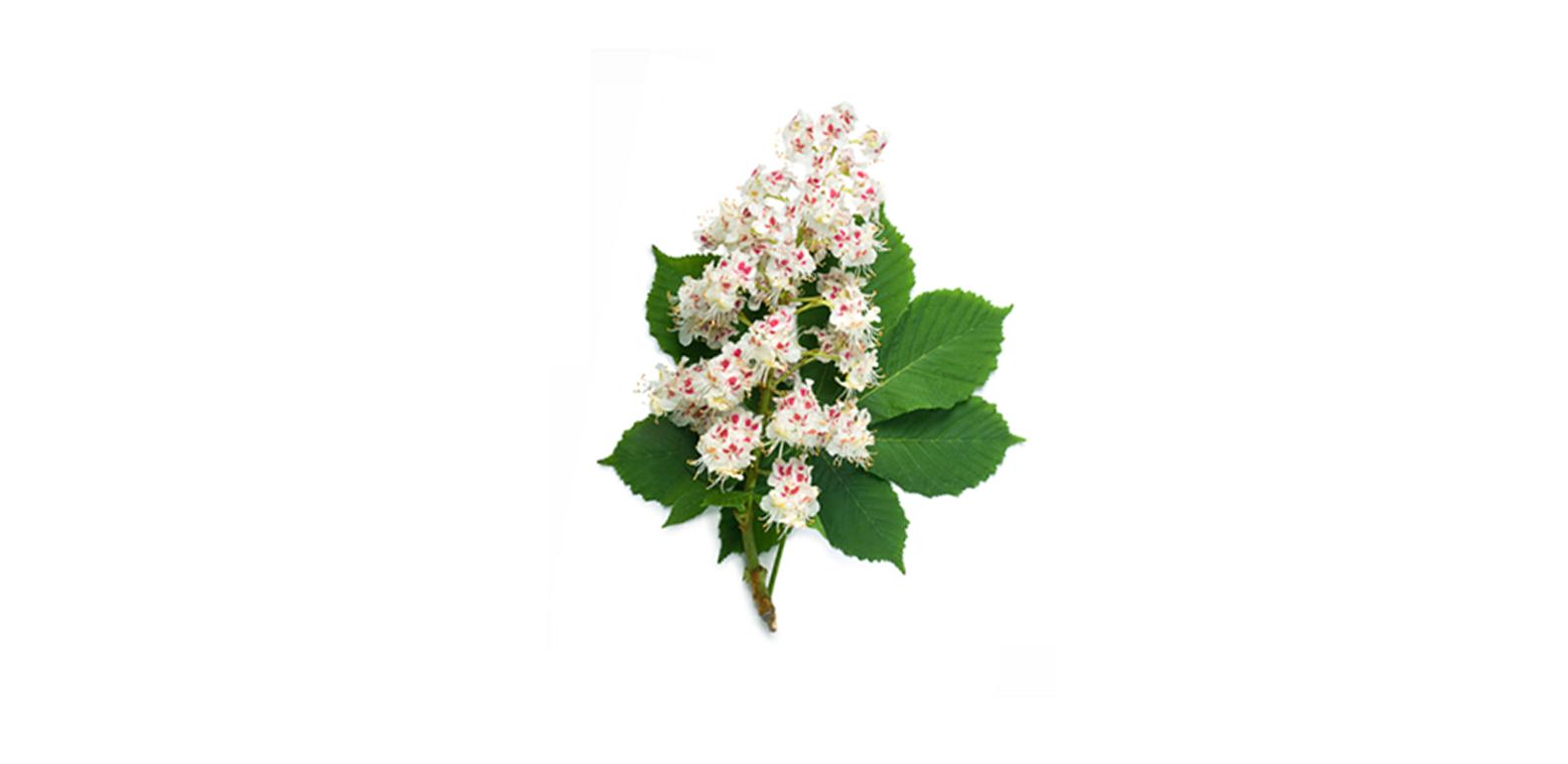 Marron d'Inde - Aesculus hippocastanum