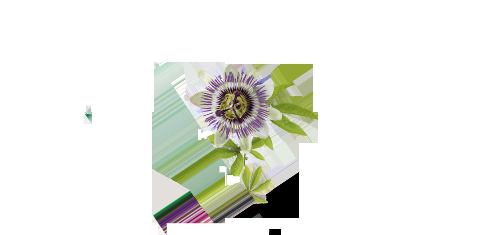 Passiflore - Passiflora incarnata - Fleur de passion