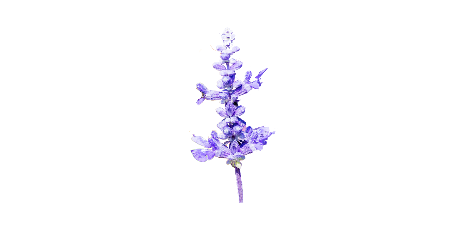Sauge - Salvia officinalis