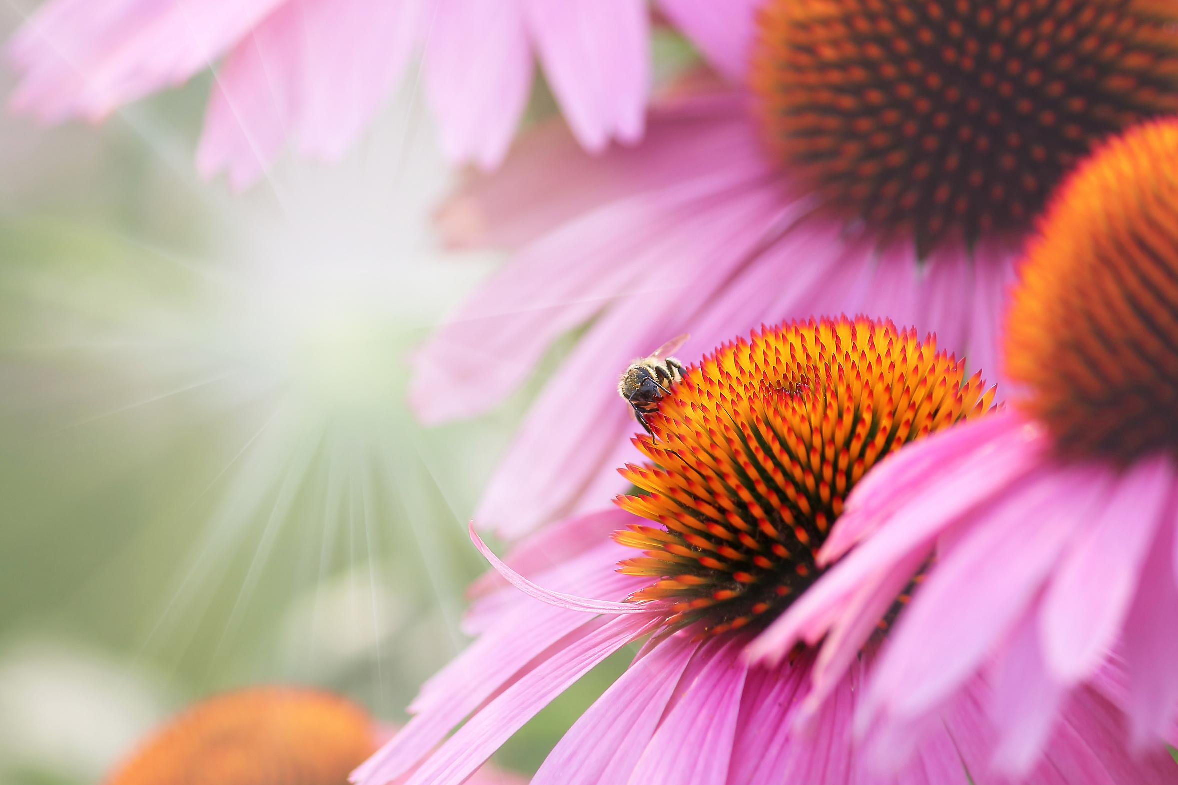 Echinacea Purpurea, la base de la gamme Echinaforce